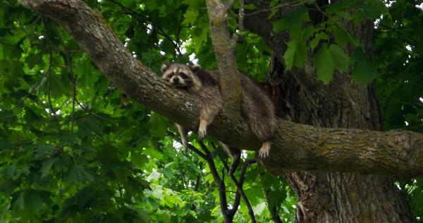 blog_mr_raccoon